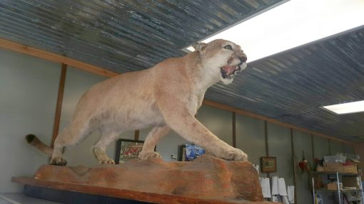 mountain lion taxidermy mount